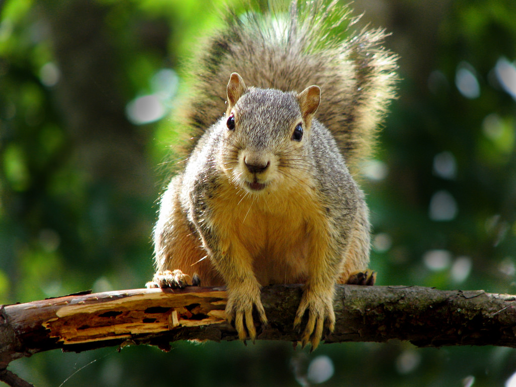 A squirrel on a branch staring into the camera