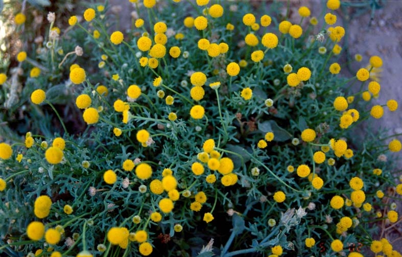Aaronsohnia is a genus in the family Asteraceae, named in 1927 after the UC Berkeley-connected Israeli agronomist Aaron Aaronsohn (Photo/Wikimedia-Abdulrahman Alsirhan)