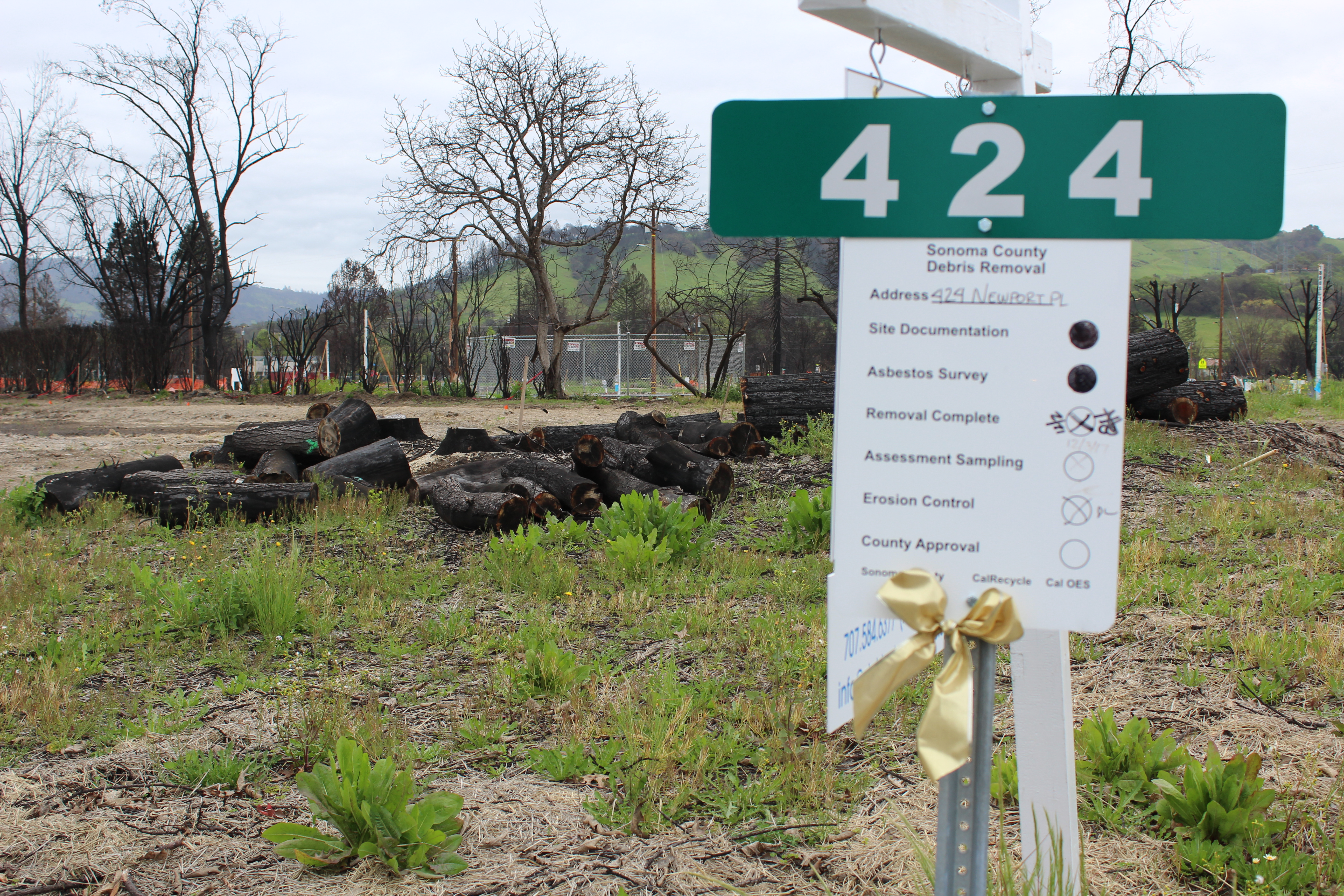 At an empty lot in the former fire zone, new green growth mixes with charred remains of trees, April 2018. (Photo/Rob Gloster)