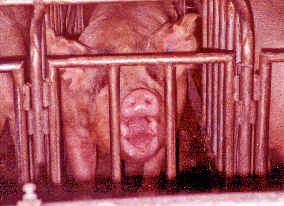 Factory farmed pigs in pens so small they cannot turn around (Photo/Flickr-Farm Sanctuary CC BY-NC-ND 2.0)