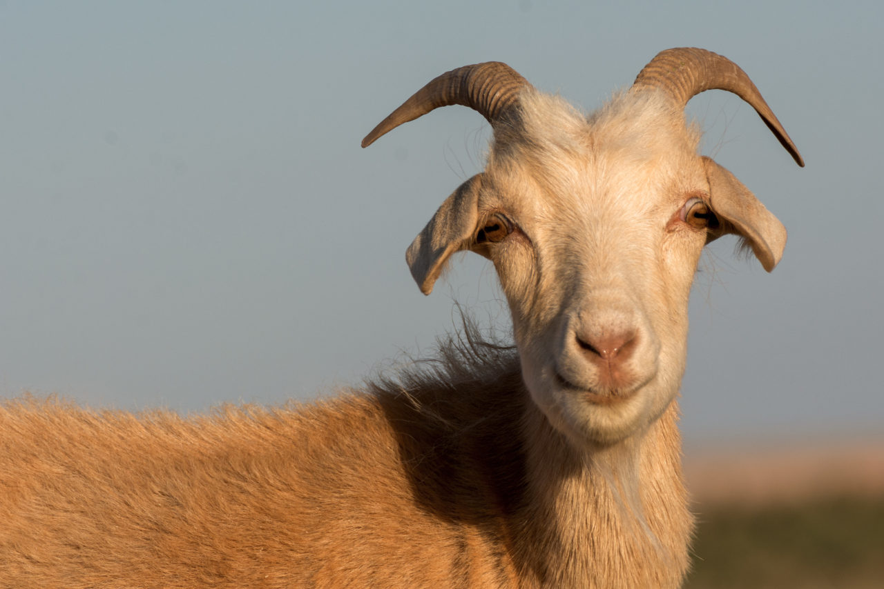 What makes Shabbat HaGadol — the Great Shabbat — so great? It's all about the goat. (LIBRESHOT/MARTIN VOREL)