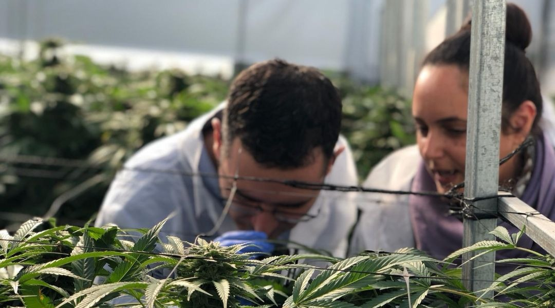 There are at least eight cannabis-growing companies operating in Israel, along with several others involved in production, marketing and distribution. (Photo/JTA-Eyal Basson-Israel Ministry of Health)