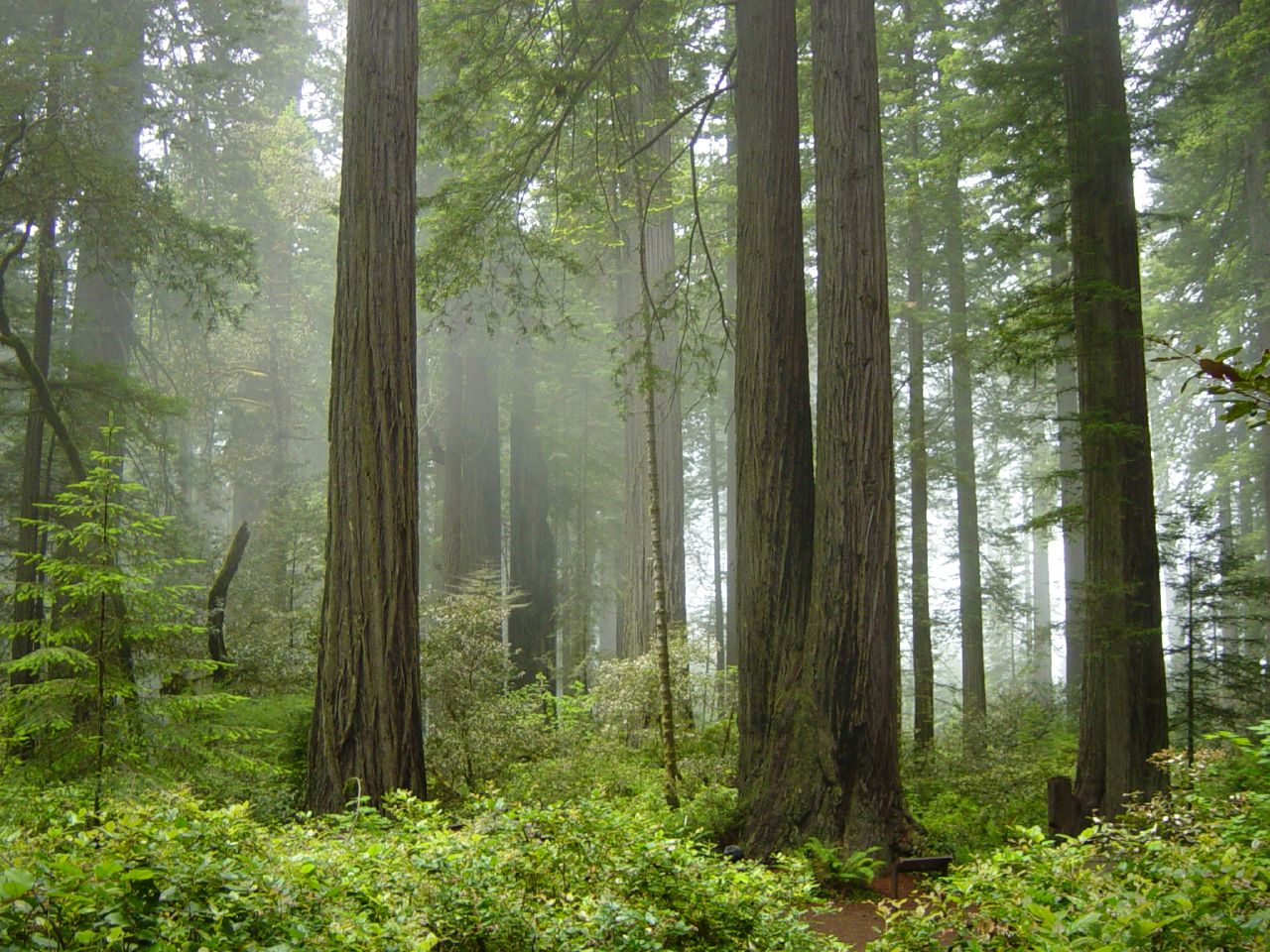 Redwoods and fog in Redwood National Park. (Photo/Wikimedia-Michael Schweppe CC BY SA)