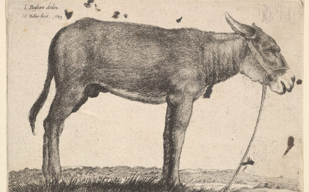 Illustration of a donkey by Wenceslaus Hollar, 1649.