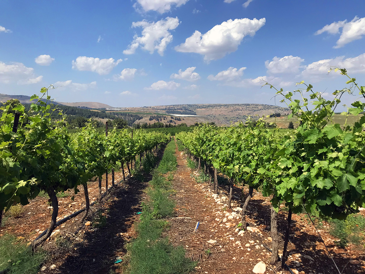 A vineyard in Israel. (Photo/Courtesy Jeff Morgan)