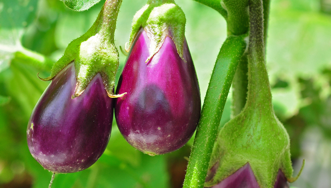 Solanum melongena, better known as eggplant, ripening on the plant. (Photo/Wikimedia)