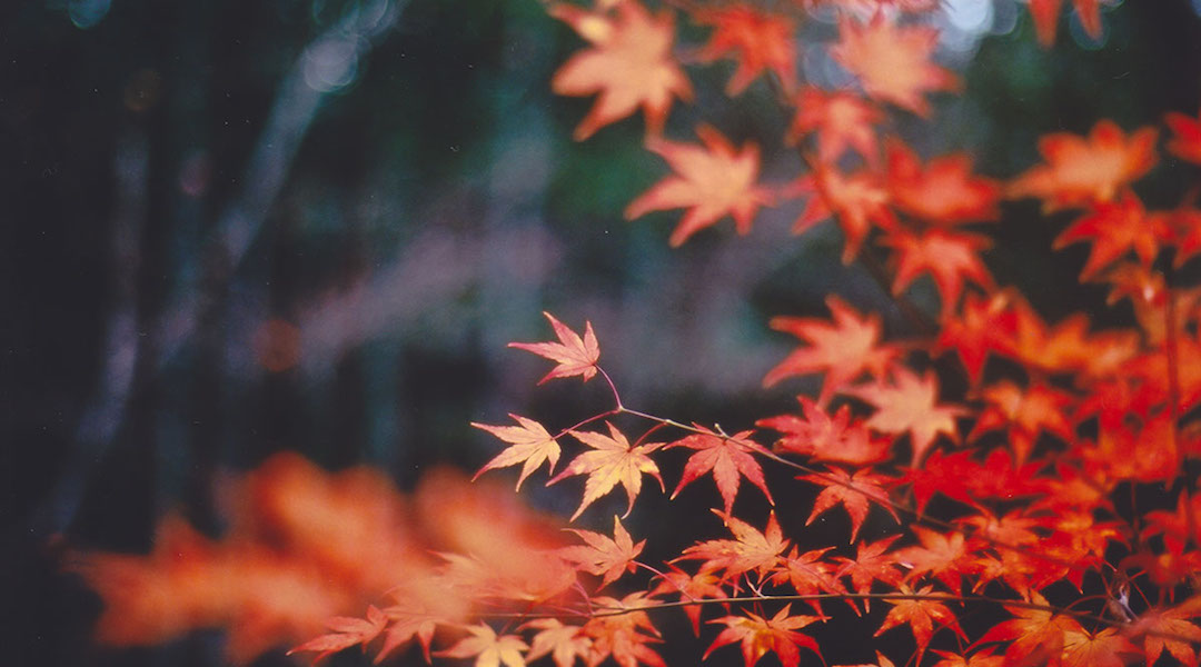 A Japanese Maple with its red fall leaves. (Photo/JTA-Getty)