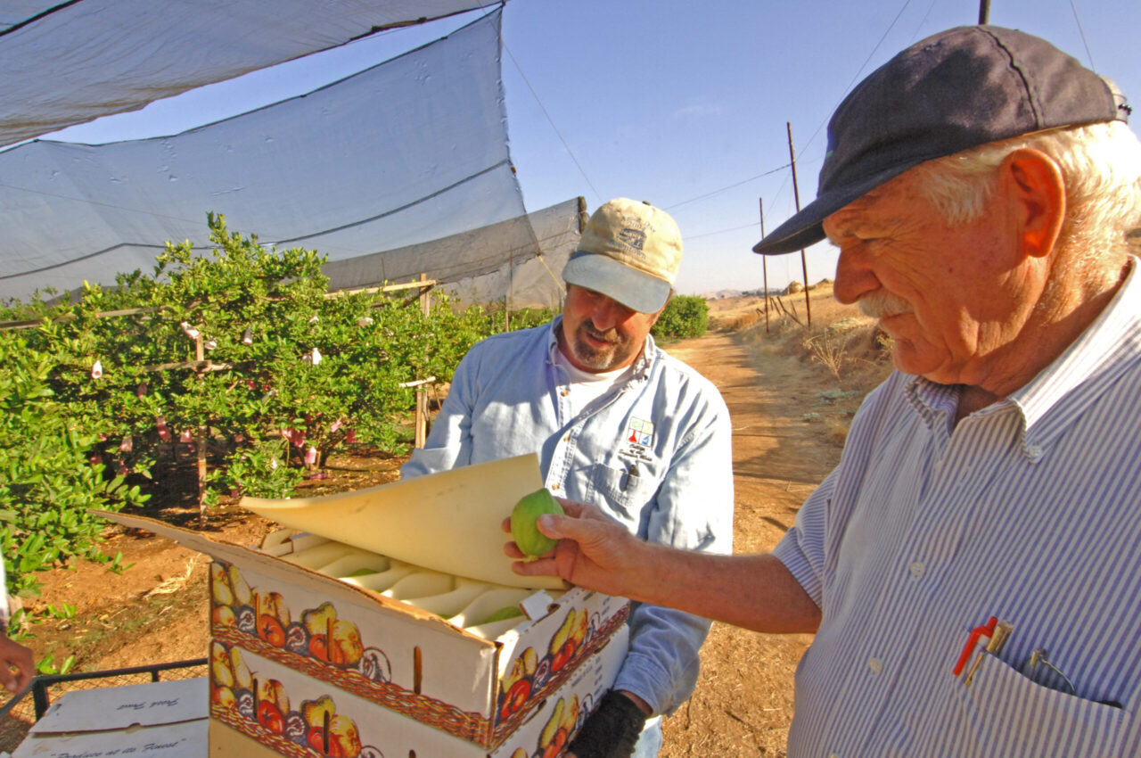 Greg Kirkpatrick and his father John handle just-picked citrons at Lindcove Ranch.